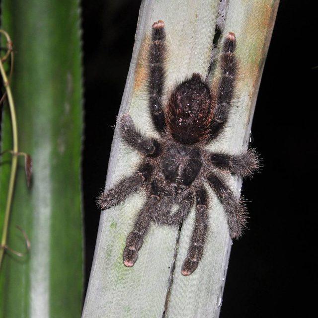 Another interesting inhabitant of the Amazonas living on a pineapplehellip