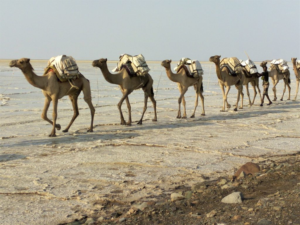 Camel caravan in Danakil Depression in Ethiopia